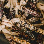 Multicolored corn