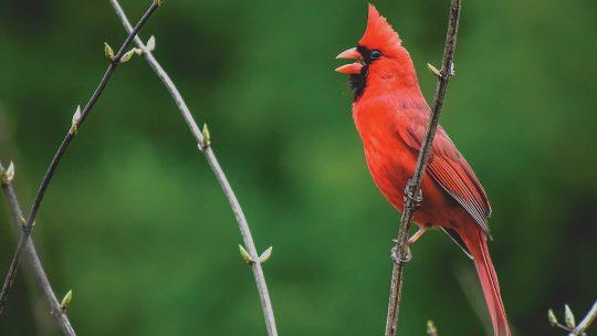 Photo of a cardinal