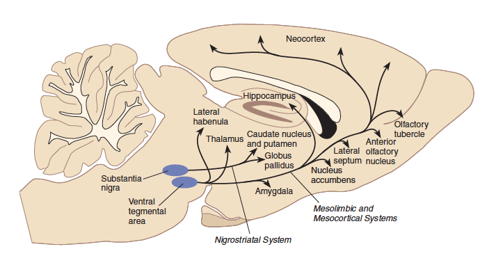 Neurotransmitter pathways and functions dopamine ccuart Image collections