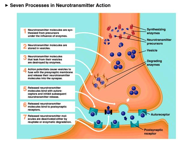 Introduction To Neurons And Neurotransmitters