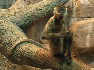 Spiders Seem To Be Getting More >> Spider Monkey